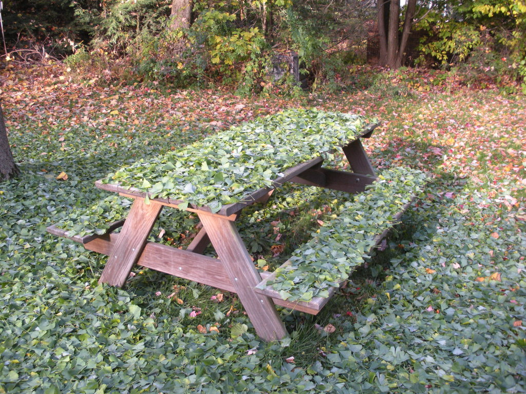 ginkgo_picnic_table.jpg