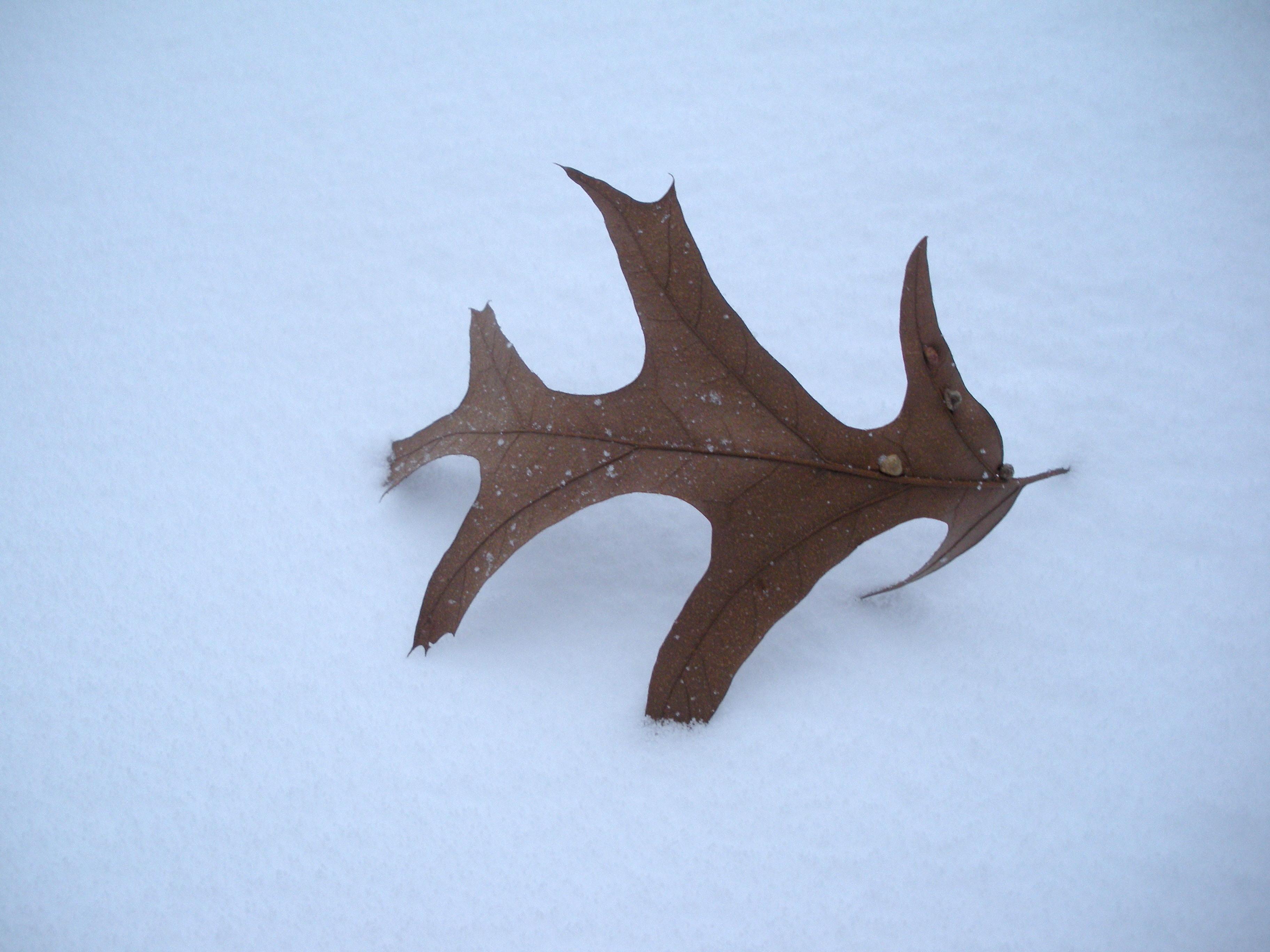 snow_leaf.jpg