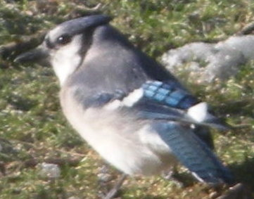 bluejay_detail.jpg