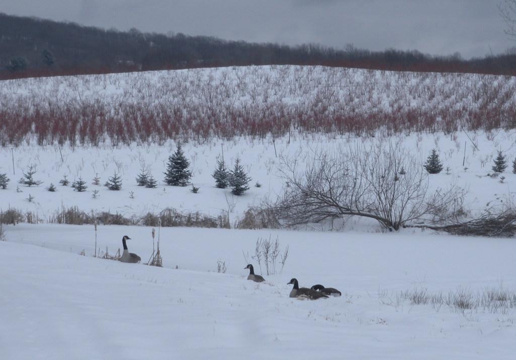 canadian_geese.jpg