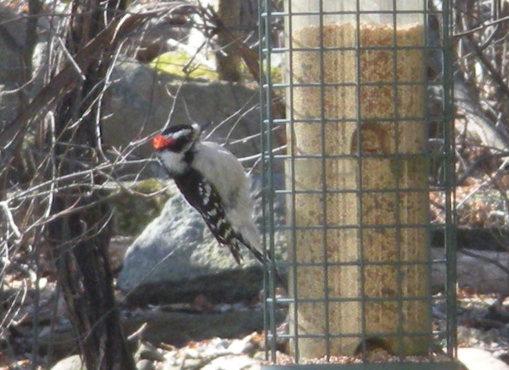 downywoodpecker.jpg