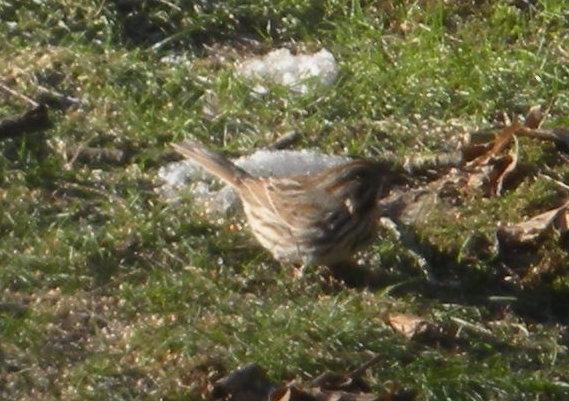 song_sparrow.jpg