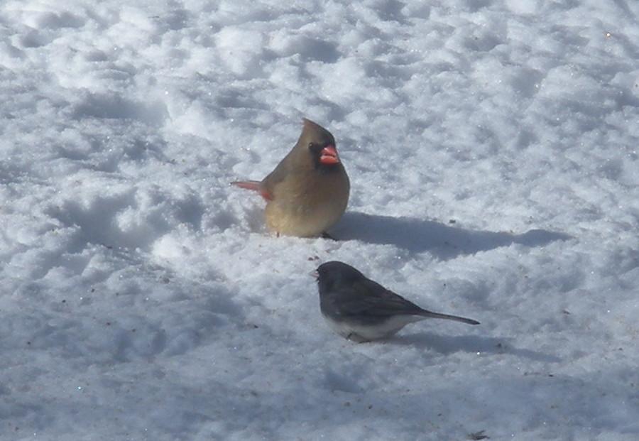 cardinal_snow.JPG