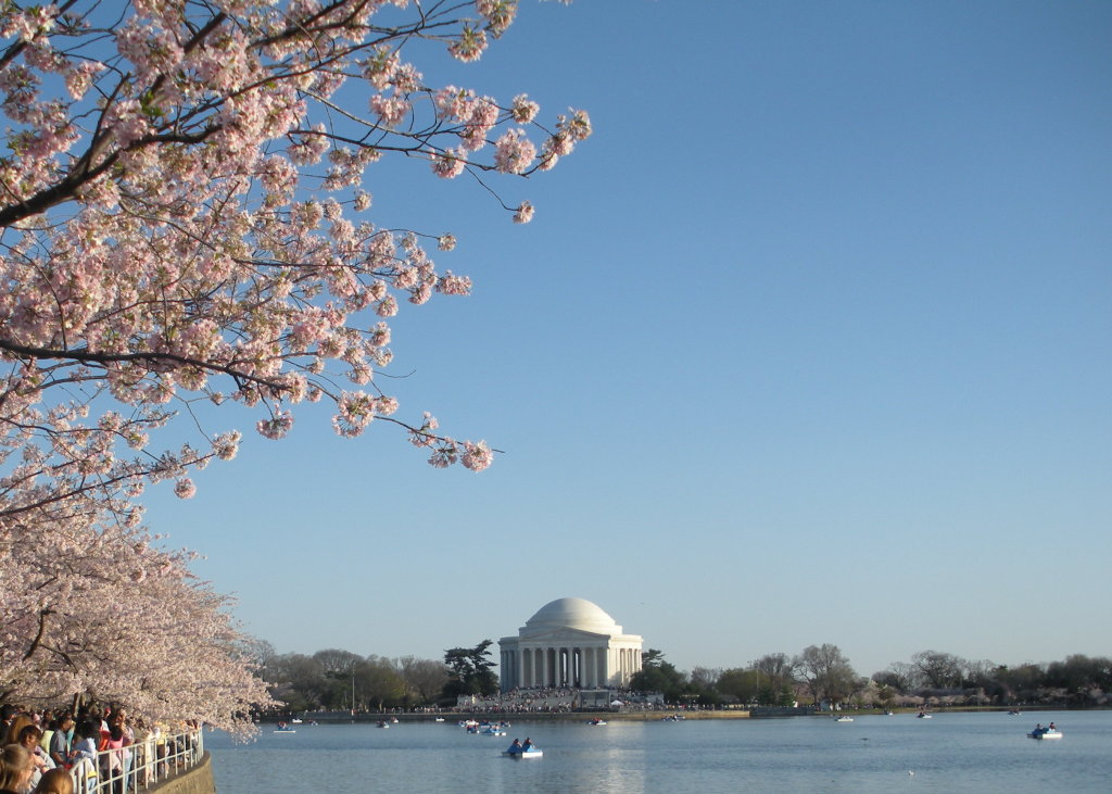 cherry_blossom_jefferson.JPG