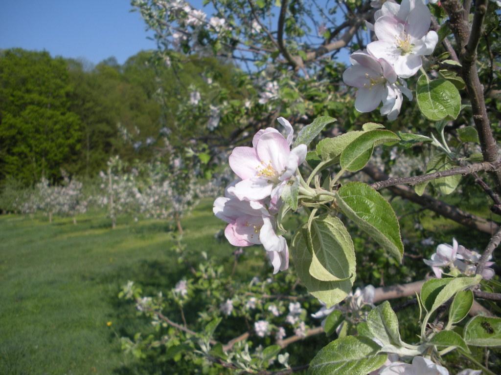 pear_blossom.JPG
