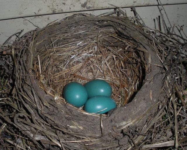 robin_eggs.JPG